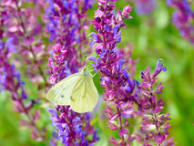 White butterfly on a purple flower Royalty Free Stock Photo