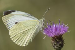 A white butterfly on a purple flower royalty free stock photo