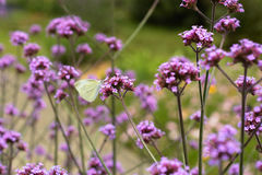 White butterfly in purple flowers. Clear small butterfly resting on purple flowers , clear, natural , sunny and bright purple flowers background , vibrant Royalty Free Stock Photo