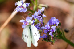 White butterfly on purple flowers Royalty Free Stock Image