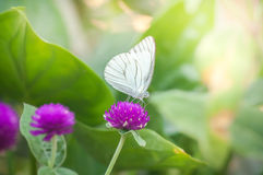 White butterfly on purple flowers  in the garden Stock Image