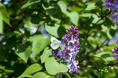 White butterfly on purple lilac. In spring royalty free stock images