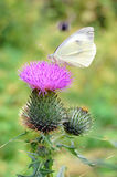 White butterfly on a purple thistle Royalty Free Stock Photo