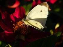 White butterfly on red daisy. Close up of white butterfly resting on center of red daisy in sunshine Royalty Free Stock Photos