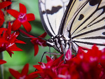 White butterfly on red flowers. Close up of white and black butterfly on red flowers Royalty Free Stock Image