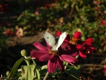 White butterfly on red flowers stock photography