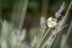 White butterfly resting on lavender royalty free stock photo
