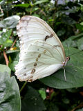 White butterfly. Resting on a leaf Stock Images