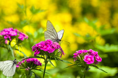White butterfly sits on flowers Stock Image