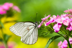 White butterfly sits on spring pink flowers stock images