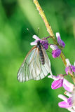 White butterfly sitting on a branch. On a background of grass stock images