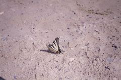 The white butterfly is sitting on the brown sand. Under evening sunlight stock photography