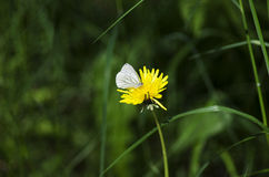 White butterfly. White butterfly sitting on a dandelion during a sunny summer day in the wild forest royalty free stock image