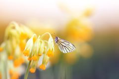 White butterfly sitting on the delicate yellow flowers of the primrose in the spring sun green meadow. Butterfly sitting on the delicate yellow flowers of the royalty free stock image