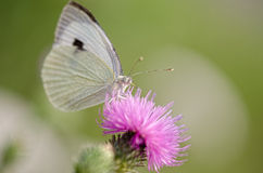 White butterfly sitting on a flower Stock Image