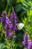 White butterfly sitting on a flower. White butterfly sitting on a purple meadow flower Stock Image