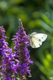White butterfly sitting on a flower. White butterfly sitting on a purple meadow flower Royalty Free Stock Photo