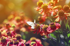White butterfly sitting surrounded by orange flowers in Sunny summer day Royalty Free Stock Photos