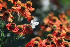 White butterfly sitting surrounded by orange flowers in Sunny summer day Stock Photo