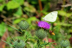 White butterfly sitting on thistle flower and flying wasp. White butterfly sitting on violet thistle flower and flying wasp royalty free stock photo