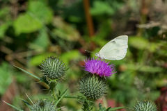 White butterfly sitting on thistle flower. White butterfly sitting on violet thistle flower stock image
