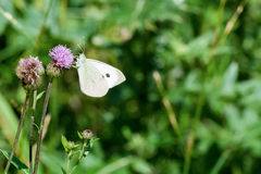 White butterfly sitting on the thistle. White butterfly sitting on the violet thistle stock photo