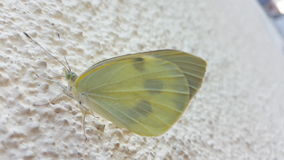White butterfly sitting on a wall. Photo with white butterfly sitting on a wall stock images