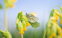 White butterfly sitting on yellow primrose flowers on spring green meadow royalty free stock image