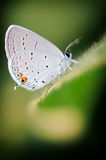 White butterfly on soybean leaf Stock Images