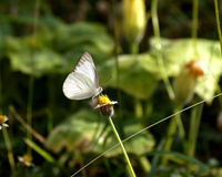 White Butterfly and Spanish needle flowers Royalty Free Stock Photography