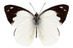White butterfly species Apias indra indra Stock Image