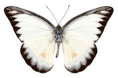 White butterfly species Appias lyncida Stock Image