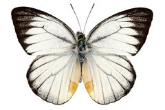 White butterfly species Delias baracasa Royalty Free Stock Images