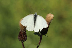 White butterfly with the spread wings on two thistles Stock Photo