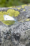 White butterfly. On a stone royalty free stock images