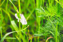 White butterfly with striped wings. A white butterfly with striped wings sits on the stalk of a meadow plant Stock Photography