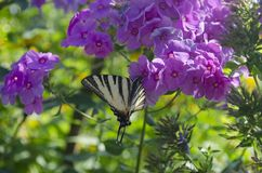White butterfly with stripes sitting on the purple Phlox flowers. The scarce swallowtail, Iphiclides podalirius is a. Butterfly, family Papilionidae. Also royalty free stock photos