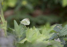 White Butterfly Stock Photo