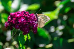 White butterfly. The white butterfly on the violet flower in the green and sunny garden Stock Images
