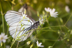 White butterfly on white flowers Stock Images