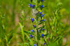 White butterfly in a wild flower Stock Photo