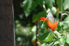 White Butterfly in the woods. White Butterfly laying on a flower Stock Images