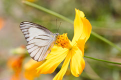 White Butterfly. Royalty Free Stock Images