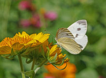 White butterfly on yellow flower Royalty Free Stock Photos