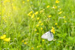 White Butterfly on Yellow Flower. A Cabbage White Pieris rapae butterfly sitting on a yellow wildflower. In field.  stock images