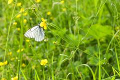 White Butterfly on Yellow Flower. A Cabbage White Pieris rapae butterfly sitting on a yellow wildflower. In field.  royalty free stock images