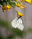 White Butterfly. On yellow flower of Caragana Arborescens Royalty Free Stock Image