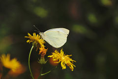 White butterfly on yellow flower. Closeup of white butterfly on yellow flower with blurred dark background Royalty Free Stock Image
