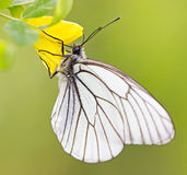 White butterfly on yellow flower macro Stock Photo