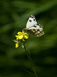 White butterfly and yellow flower Stock Photos